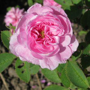 Centifolia Rosen
