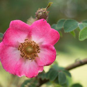 Rosa frankofurtana